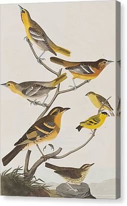 Orioles Thrushes And Goldfinches Canvas Print by John James Audubon