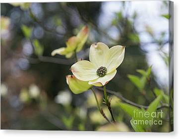 Ormonde Dogwood Canvas Print