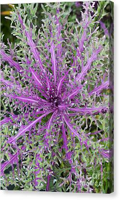 Ornamental Kale Red Peacock Canvas Print by Tim Gainey