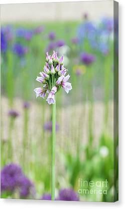 Ornamental Onion Flowering Canvas Print by Tim Gainey