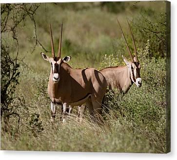 Oryx In Samburu  Canvas Print by Joseph G Holland