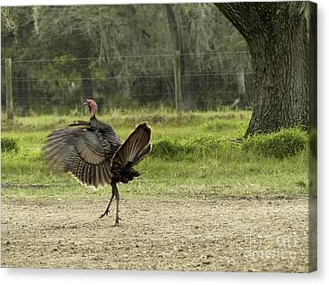 Osceola Turkey Trot Canvas Print by Teresa A and Preston S Cole Photography