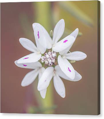 Canvas Print featuring the photograph Osmadenia Tenella by Alexander Kunz