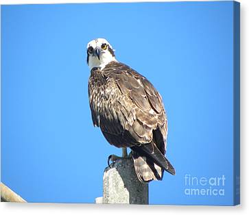 Canvas Print featuring the photograph Osprey 1 by Terri Mills
