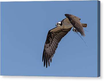 Canvas Print featuring the photograph Osprey 2017-1 by Thomas Young