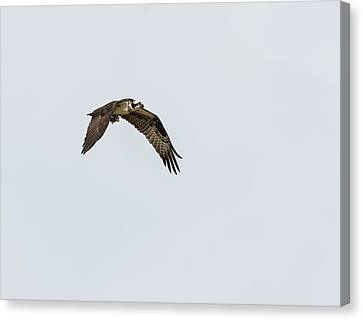 Canvas Print featuring the photograph Osprey 2017-2 by Thomas Young