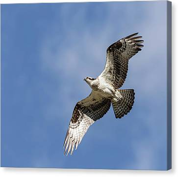 Canvas Print featuring the photograph Osprey 2017-3 by Thomas Young