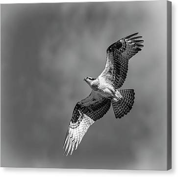 Canvas Print featuring the photograph Osprey 2017-4 by Thomas Young