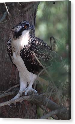 Osprey 40 Canvas Print by Joyce StJames