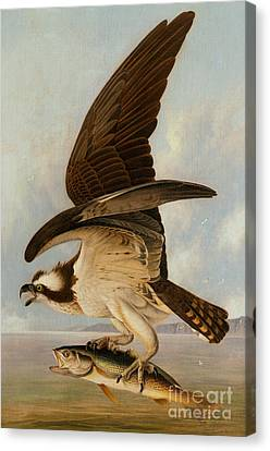 Osprey And Weakfish Canvas Print by John James Audubon