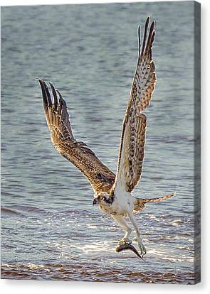 South Carolina State Bird Canvas Print - Osprey Carrying Lunch by Joe Granita