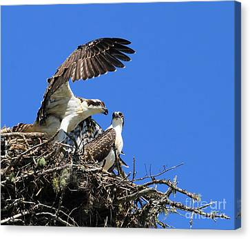 Canvas Print featuring the photograph Osprey Chicks Ready To Fledge by Debbie Stahre