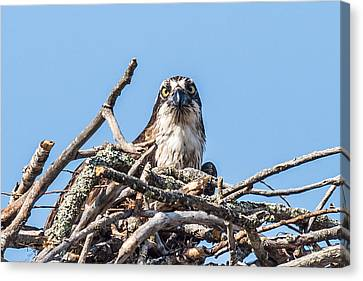 Osprey Eyes Canvas Print by Paul Freidlund