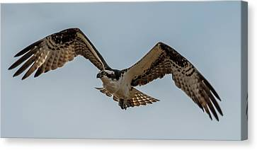Osprey Flying Canvas Print by Paul Freidlund
