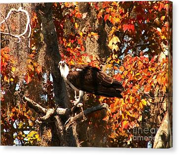 Osprey In Fall Canvas Print by Theresa Willingham