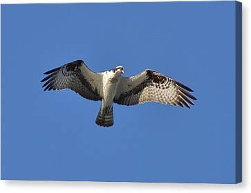 Osprey In Flight 1 Canvas Print by Gerald Hiam