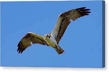 Deer On Beach Canvas Print - Osprey In Flight by Mark Reinnoldt