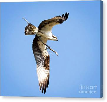 Canvas Print featuring the photograph Osprey In Flight by Ricky L Jones