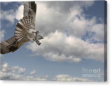 Osprey In Flight Canvas Print