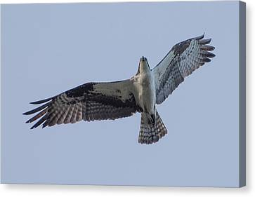 Osprey Canvas Print by Keith Boone