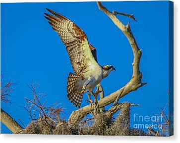 Osprey Landing On Branch Canvas Print by Tom Claud