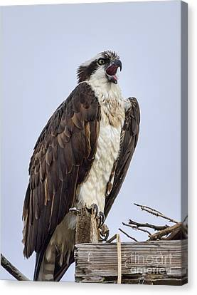 Canvas Print featuring the photograph Osprey On Its Perch by Eddie Yerkish