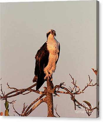Osprey On The Caloosahatchee River In Florida Canvas Print by Louise Heusinkveld