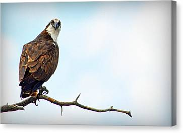 Canvas Print featuring the photograph Osprey Out On A Limb by AJ Schibig