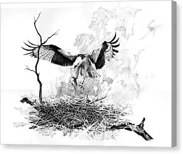 Osprey Canvas Print by Paul Illian