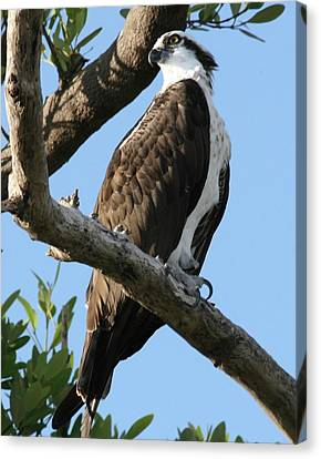 Osprey - Perched Canvas Print