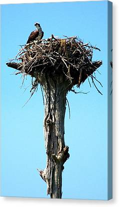 Osprey Point Canvas Print by Karen Wiles