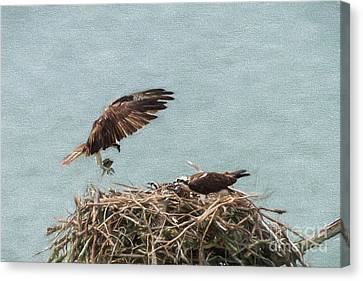 Osprey Returning With Food Canvas Print by Dan Friend