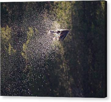 Osprey Shower Canvas Print