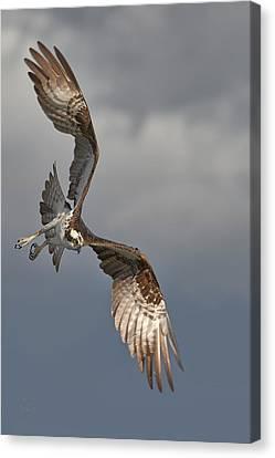 Osprey - Stormy Canvas Print