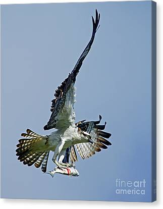 Osprey Success Canvas Print
