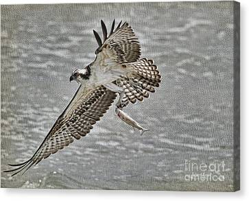 Osprey With Breakfast Canvas Print by Deborah Benoit