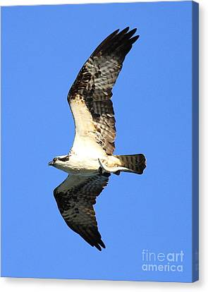 Bif Canvas Print - Osprey With Fish In Flight by Wingsdomain Art and Photography
