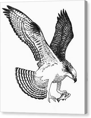 Osprey Canvas Print - Osprey With White Perch by Edith Thompson