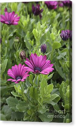 Osteospermum Flowers Canvas Print by Erin Paul Donovan