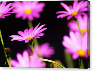 Osteospermum Canvas Print by Iain MacVinish