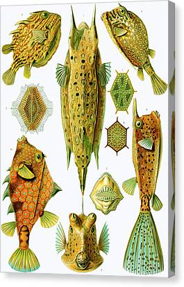 Ostraciontes Boxfish Canvas Print by Ernst Haeckel
