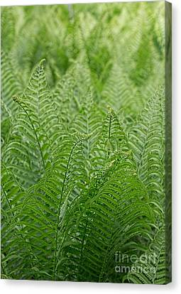 Ostrich Fern Fronds Canvas Print