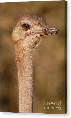 Ostrich Head Canvas Print by Andy Smy