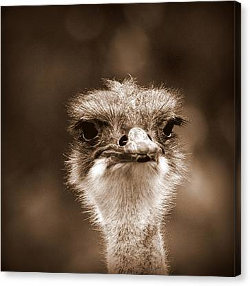 Ostrich In Sepia Canvas Print by Tam Graff
