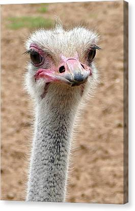 Ostrich Portrait Canvas Print