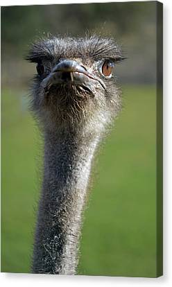 Ostrich What A Face Canvas Print by Laura Mountainspring