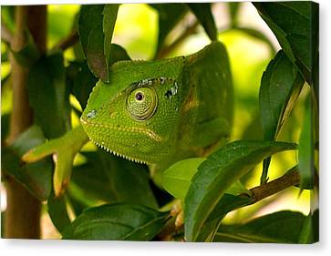 Our Chameleon 02 Canvas Print by Dora Hathazi Mendes