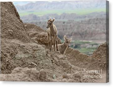 Out Exploring The Badlands Canvas Print by Adam Jewell