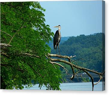 Out On A Limb Canvas Print by Donald C Morgan