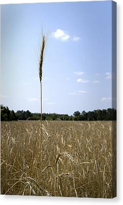 Outstanding In Its Field. Canvas Print by Robert Ponzoni